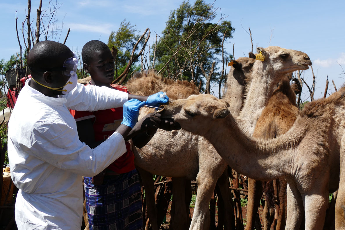 Nasal swap being done on a camel.