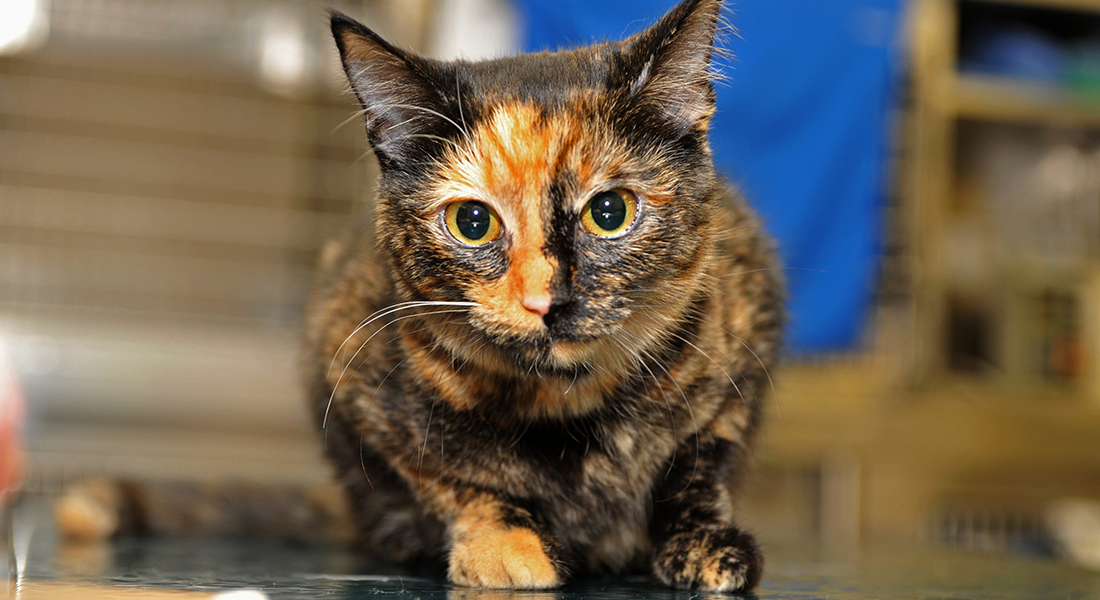 close up of calico cat