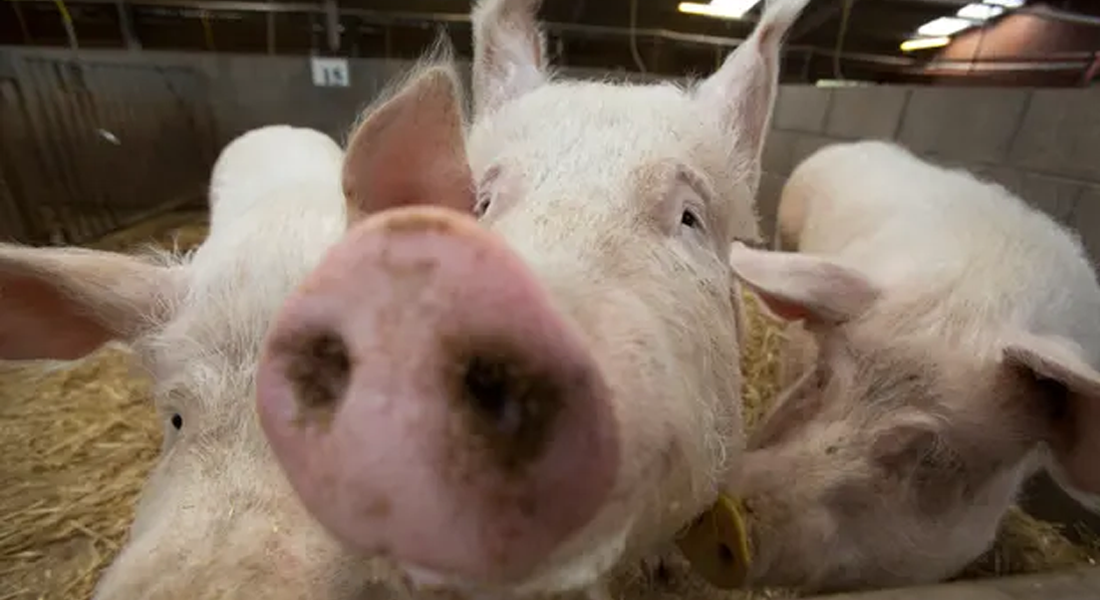 Very close-up photo of three pigs. Photograph: Murdo MacLeod/The Guardian
