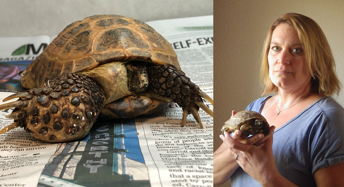 Hulk, the Russian Tortoise