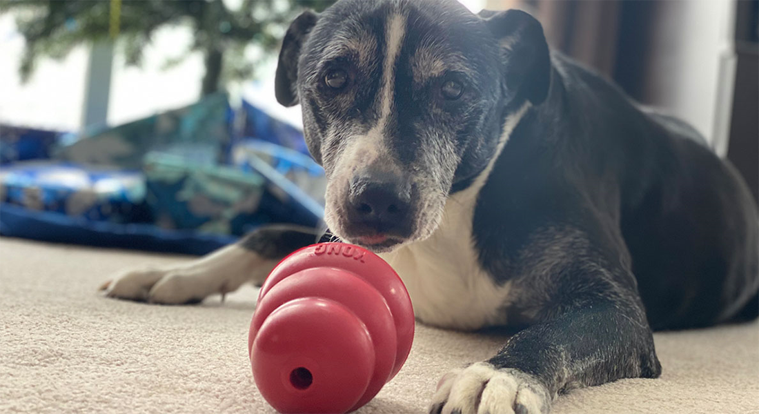 senior dog laying on floor with chew toy