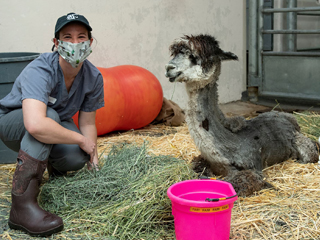 Camelid in vet hospital