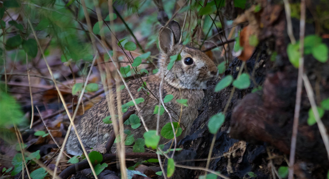 A bunny peers out through foliage at Lincoln Park in West Seattle in December.