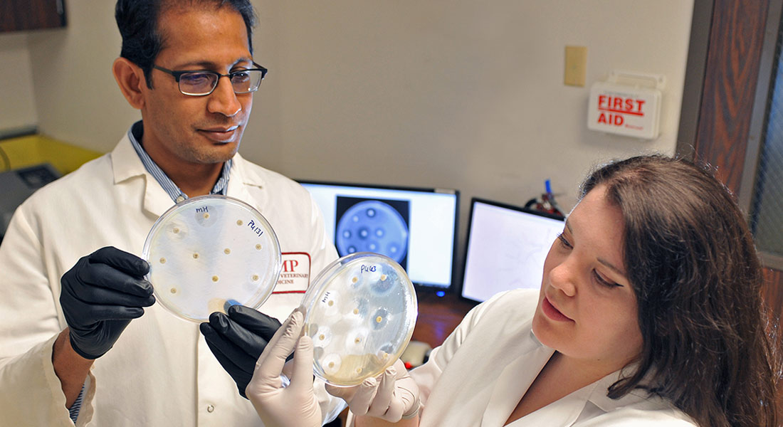 Devendra Shah and Rachel Soltys examine antibiotic susceptibility plates in the laboratory.