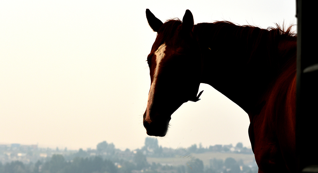 One of the members of WSU's horse herd gazes out at the smoke-filled sky.