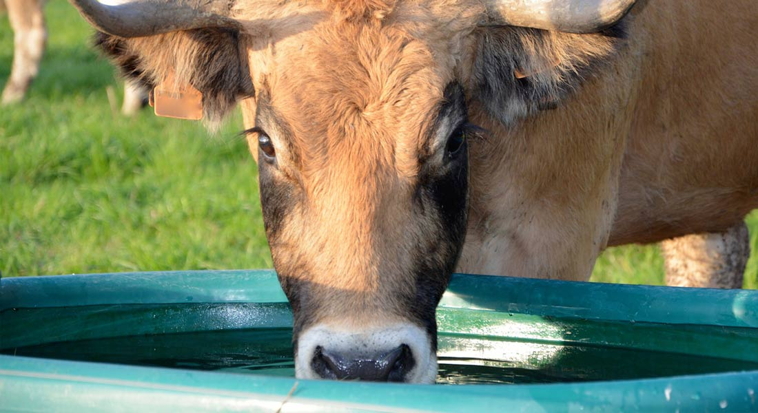 Cow drinking out of a water trough.