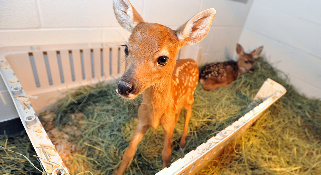 Two orphaned fawns were brought last spring to Washington State University's Veterinary Teaching Hospital.